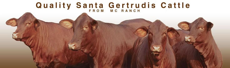 MC Ranch Quality Santa Gertrudis Cattle